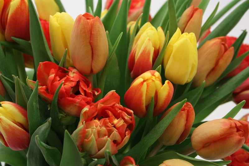 Tulipaner orange miks